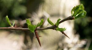 Kaspische Gleditschie Baum Stacheln Blatt Gleditsia caspica 04
