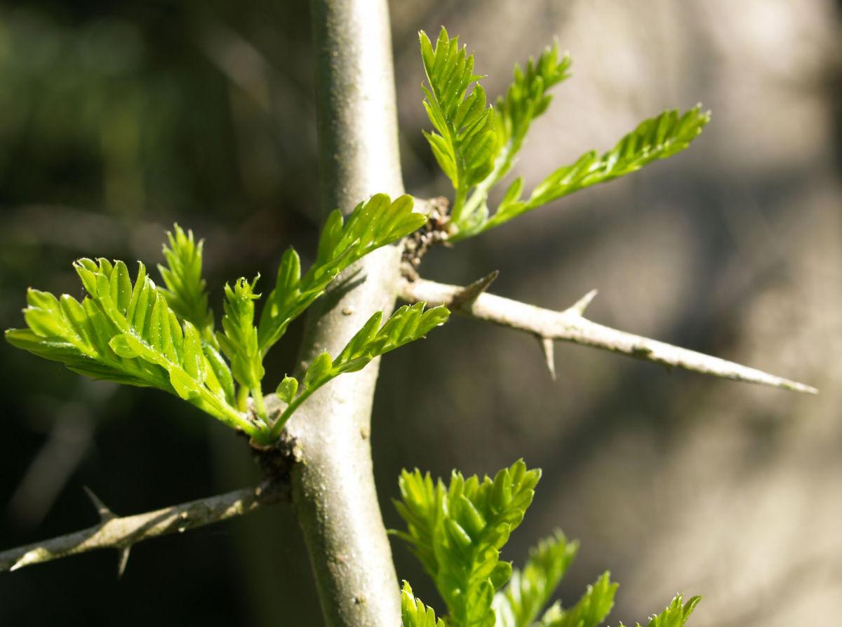 Kaspische Gleditschie Baum Stacheln Blatt Gleditsia caspica