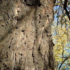 Bild: Kastanie gemeine Ross Aesculus hippocastanum