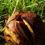 Kastanie Aesculus hippocastanum 03
