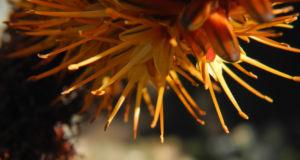 Katzenschwanz Aloe Bluete orange Aloe castanea 09