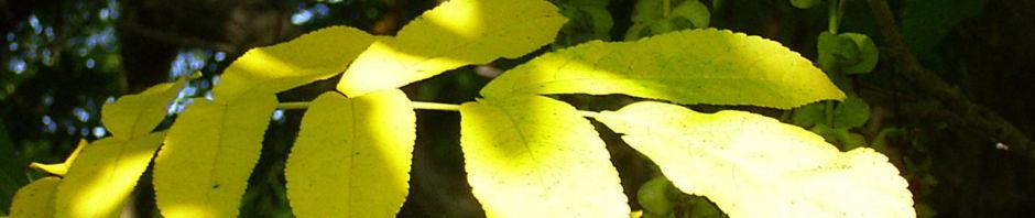 Anklicken um das ganze Bild zu sehen Kaukasische Flügelnuss Frucht - Pterocarya fraxinifolia