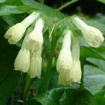 Kaukasus Beinwell Symphytum grandiflorum 01