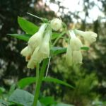 Kaukasus Beinwell Symphytum grandiflorum 03