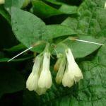 Bild:  Kaukasus Beinwell Blüte weiß Symphythum grandiflorum