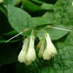 Kaukasus Beinwell Symphytum grandiflorum 04