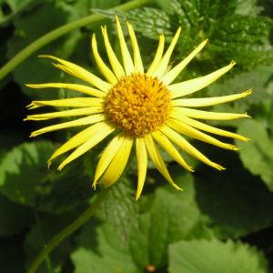 Kaukasus Gemswurz Bluete gelb Doronicum orientale 01