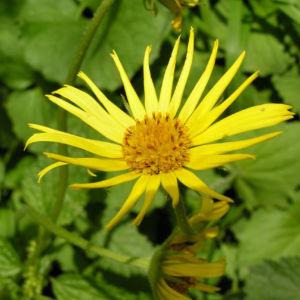 Kaukasus Gemswurz Bluete gelb Doronicum orientale 03