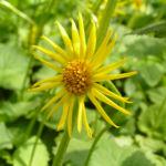 Kaukasus Gemswurz Bluete gelb Doronicum orientale 04