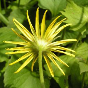 Kaukasus Gemswurz Bluete gelb Doronicum orientale 05