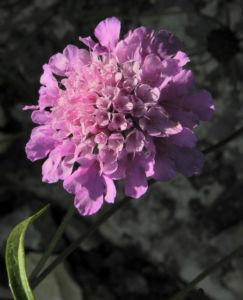 Kaukasus Skabiose Bluete pink Scabiosa owerinii 01
