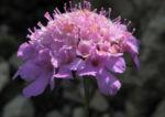 Kaukasus Skabiose Bluete pink Scabiosa owerinii 02