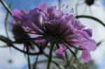 Kaukasus Skabiose Bluete pink Scabiosa owerinii 11