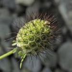 Kaukasus Skabiose Frucht gruen Scabiosa owerinii 02