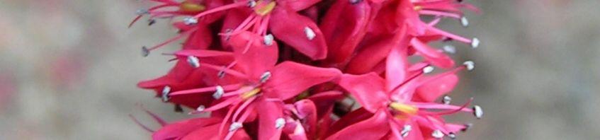 Anklicken um das ganze Bild zu sehen Kerzen Knöterich Blüte rot - Polygonum amplexicaule