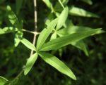 Keuschbaum Blatt gruen Vitex angus castus 01