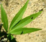 Keuschbaum Blatt gruen Vitex angus castus 04