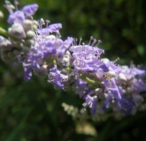 Keuschbaum Bluete hell lila Vitex angus castus 01