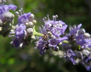 Keuschbaum Bluete hell lila Vitex angus castus 02