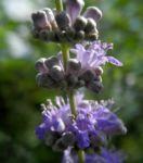 Keuschbaum Bluete hell lila Vitex angus castus 05