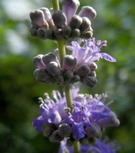 Bild: Keuschbaum Bluete hell lila Vitex angus castus