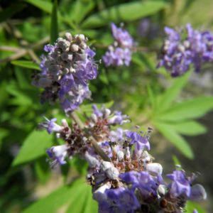 Keuschbaum Bluete hell lila Vitex angus castus 09