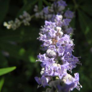 Keuschbaum Bluete hell lila Vitex angus castus 11