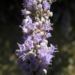 Zurück zum kompletten Bilderset Keuschbaum Blüte pink Vitex angus castus