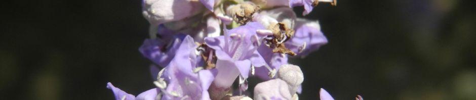 Anklicken um das ganze Bild zu sehen Keuschbaum Blüte pink Vitex angus castus