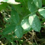 Kicher Tragant Astragalus cicer 01