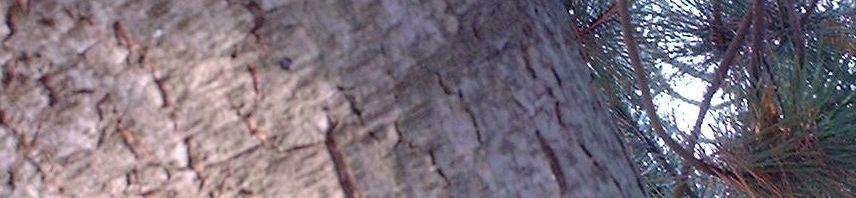 Anklicken um das ganze Bild zu sehen Kiefer Nadel grün Pinus
