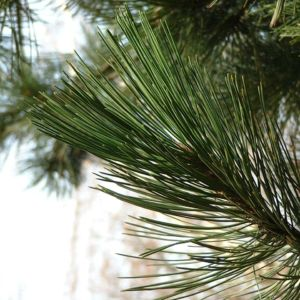 Bild: Kiefer Pinus