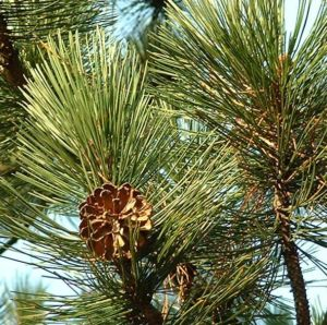 Kiefer Pinus 03