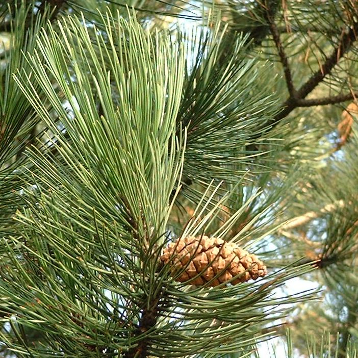 Kiefer Pinus