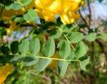 Kilikischer Blasenstrauch Blatt gruen Colutea cilicica 02