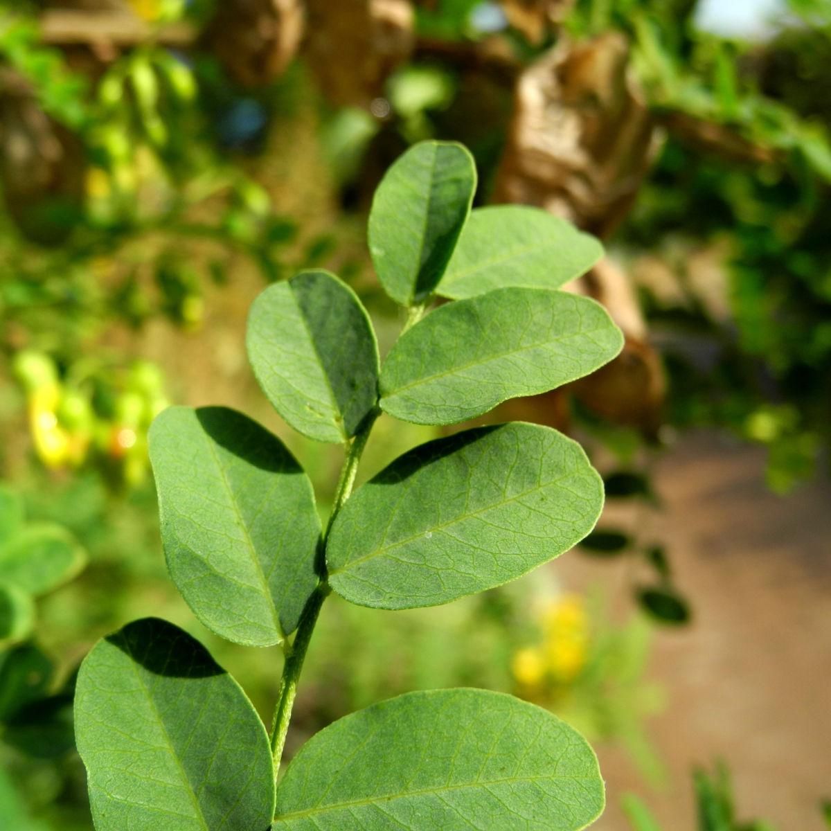 Kilikischer Blasenstrauch Blatt gruen Colutea cilicica