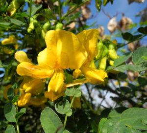 Kilikischer Blasenstrauch Bluete gelb Colutea cilicica 02