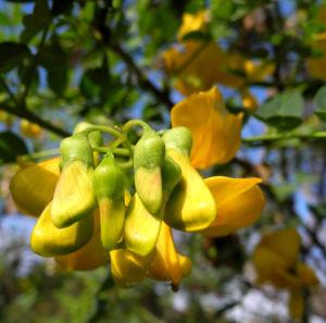 Kilikischer Blasenstrauch Bluete gelb Colutea cilicica 04