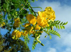 Kilikischer Blasenstrauch Bluete gelb Colutea cilicica 06
