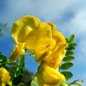 Kilikischer Blasenstrauch Bluete gelb Colutea cilicica 07