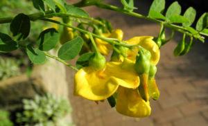 Kilikischer Blasenstrauch Bluete gelb Colutea cilicica 08
