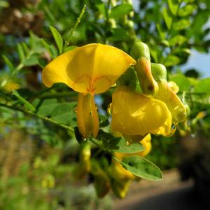 Kilikischer Blasenstrauch Bluete gelb Colutea cilicica 09