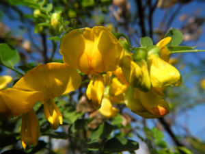 Kilikischer Blasenstrauch Bluete gelb Colutea cilicica 14