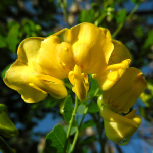Kilikischer Blasenstrauch Bluete gelb Colutea cilicica 16