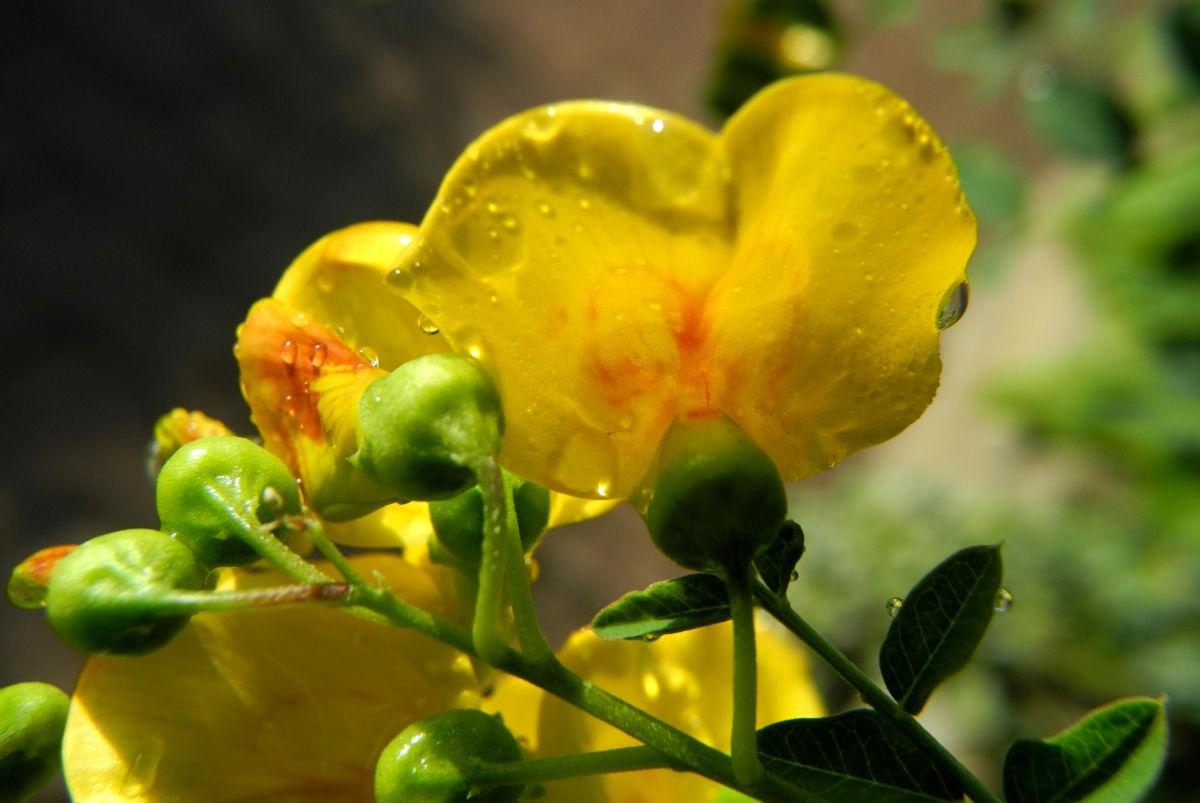 Kilikischer Blasenstrauch Bluete gelb Colutea cilicica