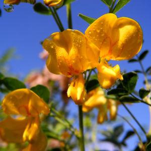 Kilikischer Blasenstrauch Bluete gelb Colutea cilicica 27