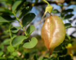 Kilikischer Blasenstrauch Schoten gruen Colutea cilicica 02