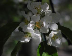 Kirsch Apfel Bluete weiss Malus prunifolia 02