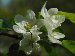 Kirsch Apfel Bluete weiss Malus prunifolia 03