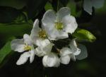 Kirsch Apfel Bluete weiss Malus prunifolia 04